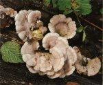 Гриб Схизофиллум обыкновенный. Классификация гриба. (фото)