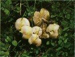 Гриб Опенок луговой, луговик. Классификация гриба. (фото)