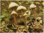 Гриб Мицена красноножковая. Классификация гриба. (фото)