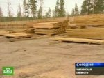 Нелегальная вырубка леса грозит катастрофическими последствиями
