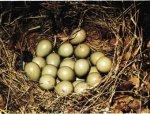 Много ли яиц в птичьей кладке?