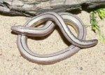 Неизвестный вид безногой ящерицы обнаружен в Индии