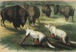 Как белые истребили бизонов?