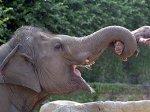 Слон-вымогатель терроризирует индийских водителей
