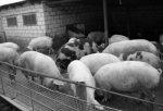 Свиноводство должно быть прибыльным!