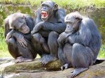 Борьба с глобальным потеплением угрожает человекообразным обезьянам