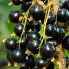 Черная смородина - чудо-ягода №1