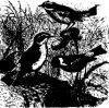 Древесные птицы (Coracornithes). Чекканки и Каменки.