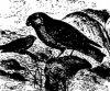Древесные птицы (Coracornithes). Виды снегирей.