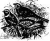Древесные птицы (Coracornithes). Семейство вьюрковых. Подорожники (Emberizinae).