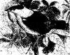 Тиранны (Tyrannidae)