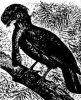 Семейство головачей (Cephalopterus)