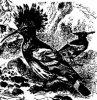 Семейство удодовых (Upupidae)
