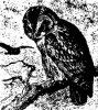 Виды сов. Неясыти (Syrniinae)
