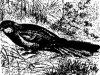 Попугайчики (Palaeornis)