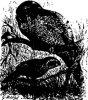 Род попугаев — несторов (Nestor).
