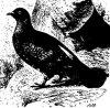 Род лесных голубей. Вяхирь, или дикий голубь (Columba palumbus)