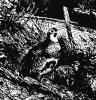 Серая куропатка (Perdix cinerea)