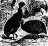 Отряд куриных птиц. Цесарки (Numidinae)