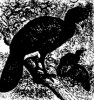 Отряд куриных птиц. Гокко (Cracidae)