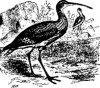 Поисковые птицы (Charadriornithes). Семейство улитовых (Totaninae)