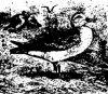 Буревестниковые (Thalassornithes). Виды буревестников.