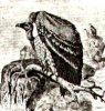Американские грифы (Sarcorhainphidae). Гребневый гриф, кондор, королевский гриф.