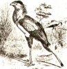 Голенастые грифы (Serpentariinae). Птица-секретарь