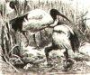 Ибисы (Ibidae). Священный ибис.