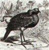 Шпорцекрылые (Palamedeornithes)