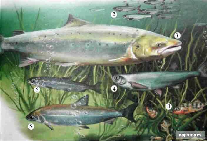 Северное море охотники на селедок