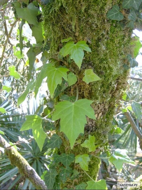 Признаки плющ вечнозеленое