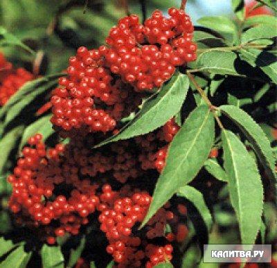 Ядовитые растения бузина красная
