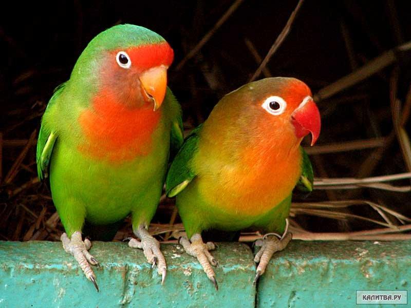 Покупка попугаев-неразлучников