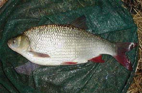 Язь (Leuciscus idus) - рыба семейства карповых, имеет внешнее сходство с...