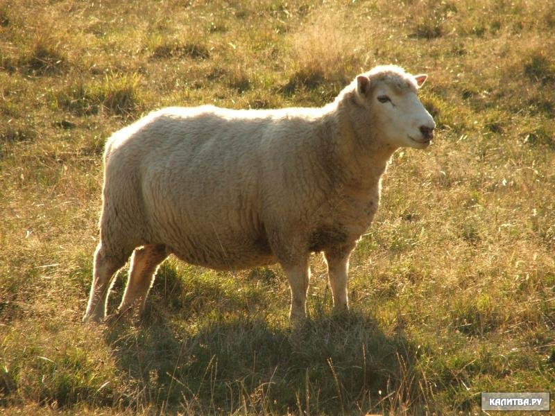 Поиск по сайту.  На главную.  Наоборот, лошадь, осел, корова, овца, коза спят только.