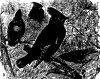 ������������ (Muscicapidae)