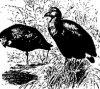������� ������� (Phalaridornithes)