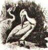 �������� (Pelecanidae). �������, ����-�����.