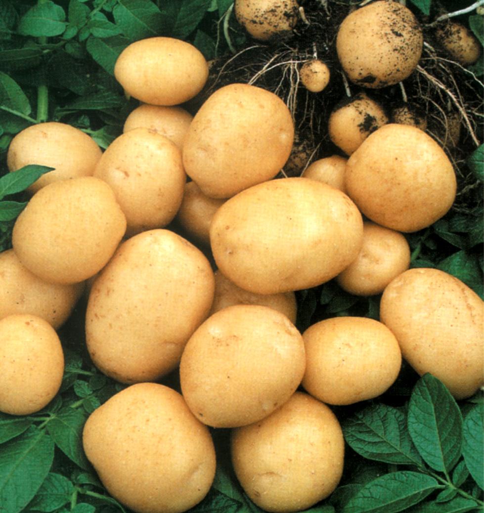 Интересные факты о картошке.  Удобрения.  Способы посадки.